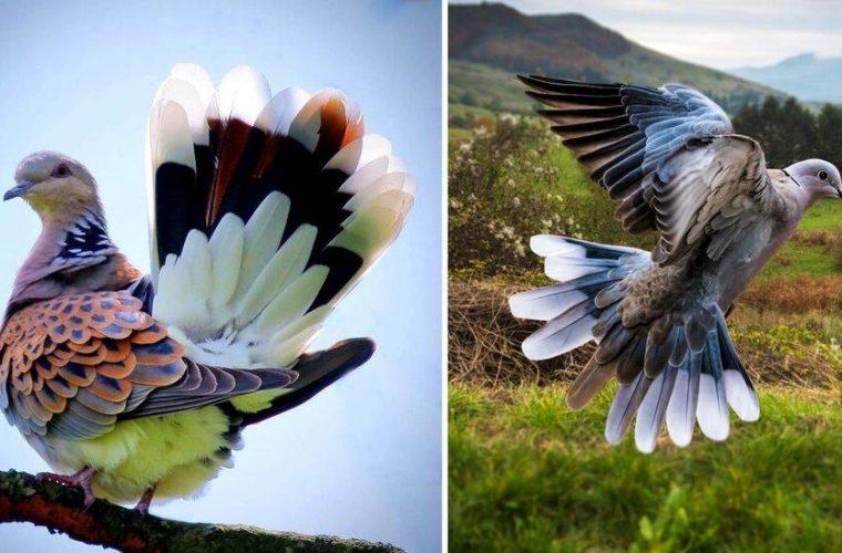 تصویری دیدنی از زیباترین کبوتر جهان