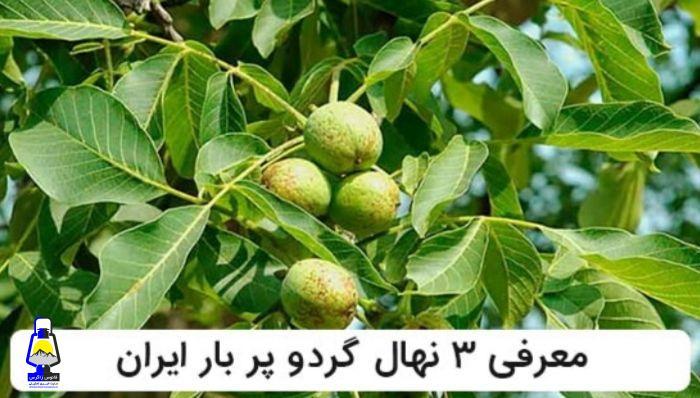 معرفی ۳ رقم از نهال های گردو پر بار ایران